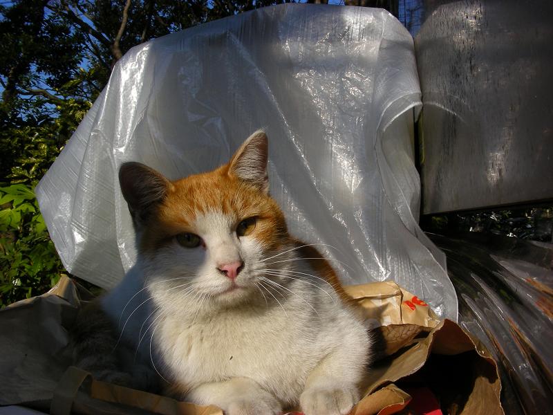 ビニールと茶白猫1