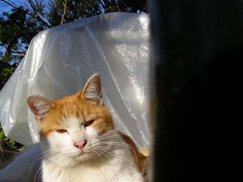 ビニールと茶白猫2