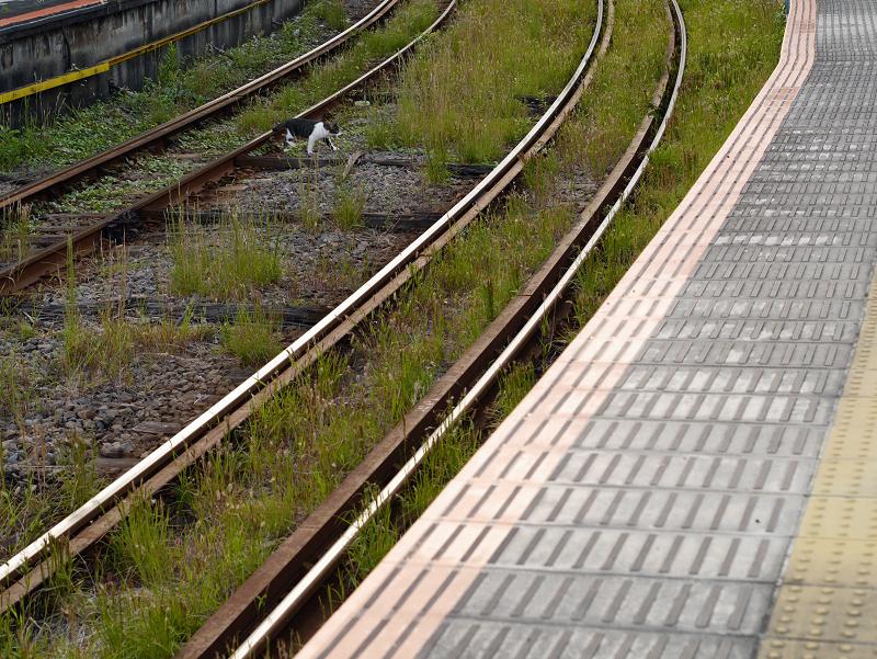 ホームと線路とキジ白猫1