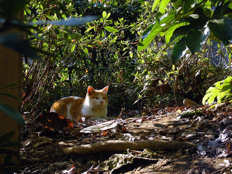 盛り上がった土と茶白猫1