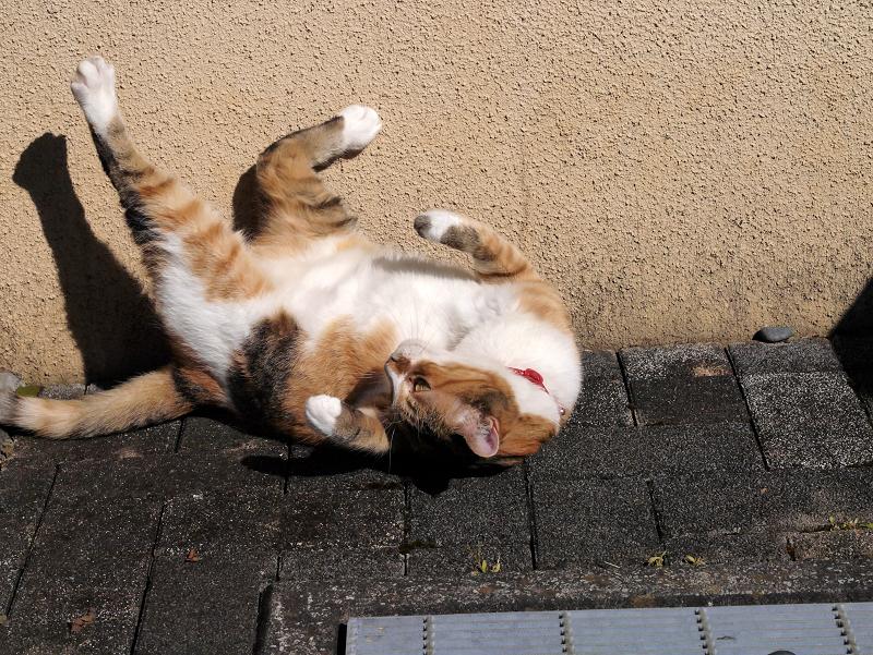 仰向けで足を広げてる三毛猫1