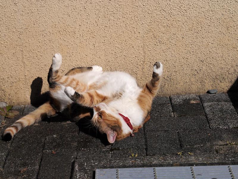 仰向けで足を広げてる三毛猫2