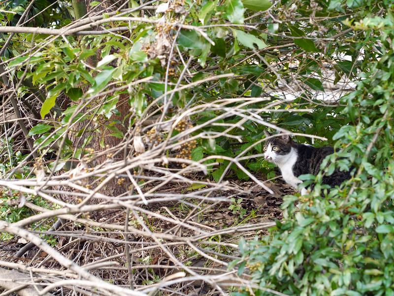 植え込みから顔を出してるキジ白猫