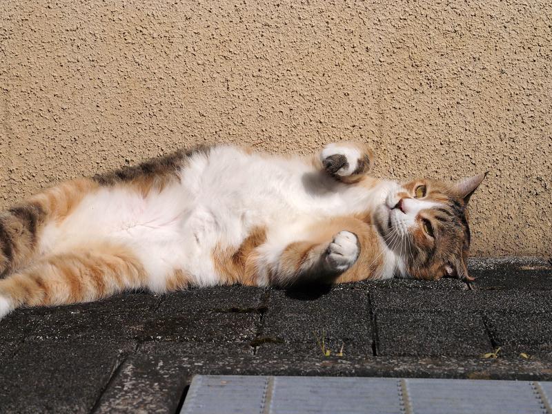 仰向け視線の三毛猫1