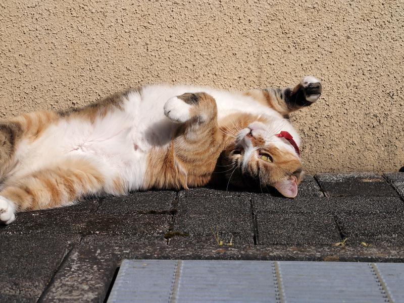 仰向け視線の三毛猫2
