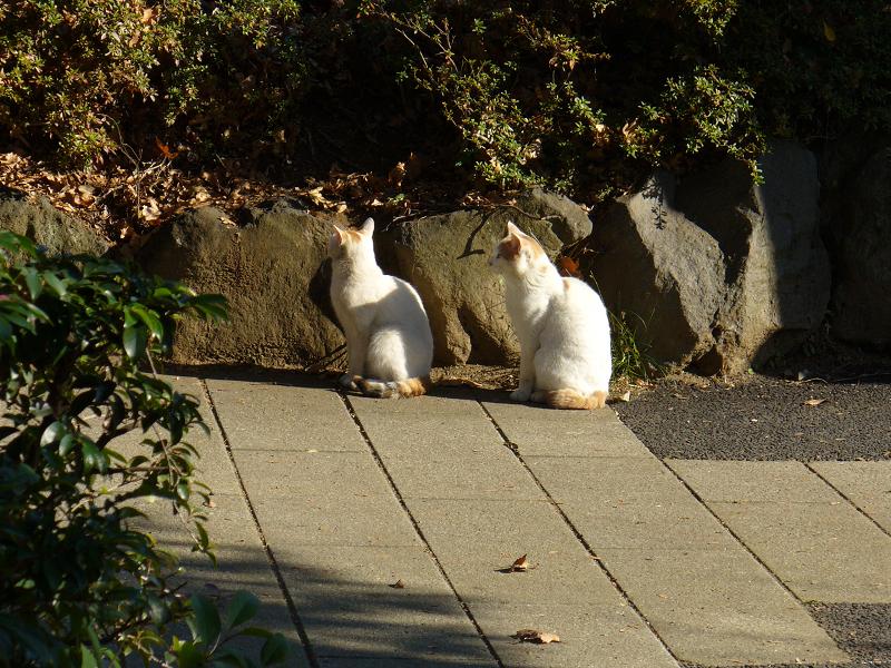 公園の仲良し白茶猫1