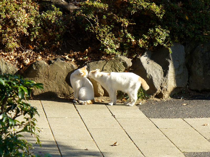 公園の仲良し白茶猫2