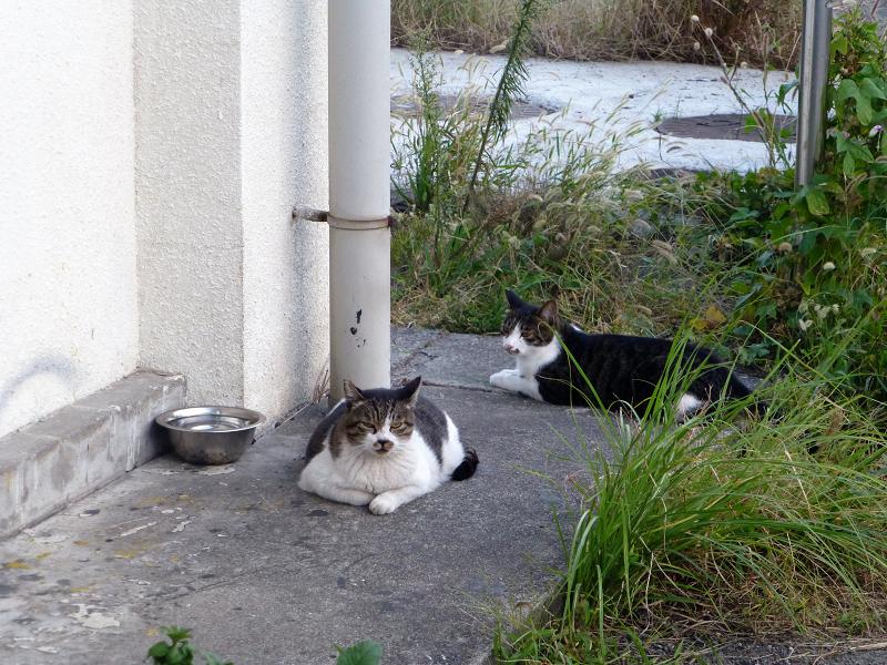 キジ白猫を威嚇するキジ白猫1