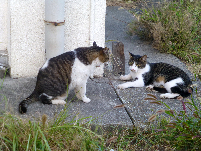 キジ白猫を威嚇するキジ白猫2