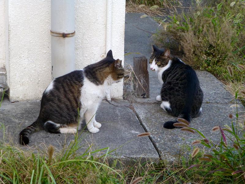 キジ白猫を威嚇するキジ白猫3