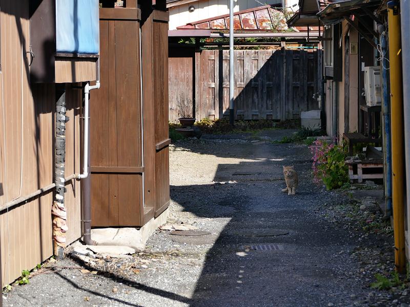 民家砂利庭の茶トラ猫1