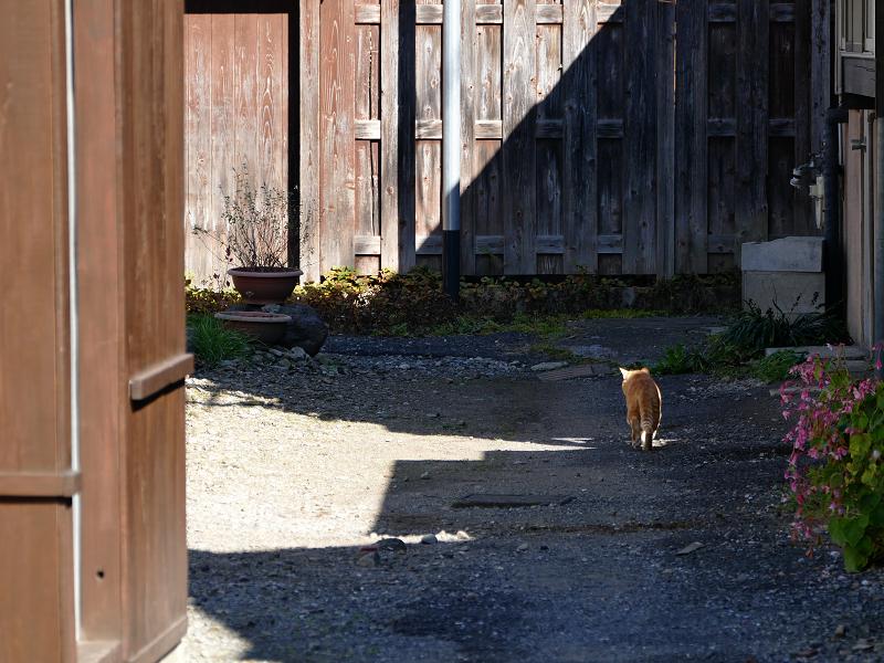 民家砂利庭の茶トラ猫3