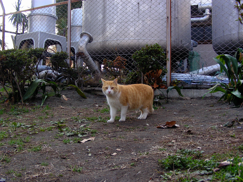 タンク茶白猫
