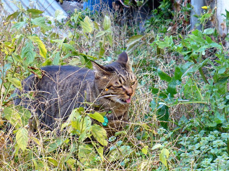茂みのキジトラ猫1