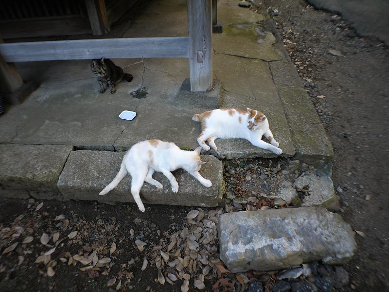 礎石縁石茶白猫1