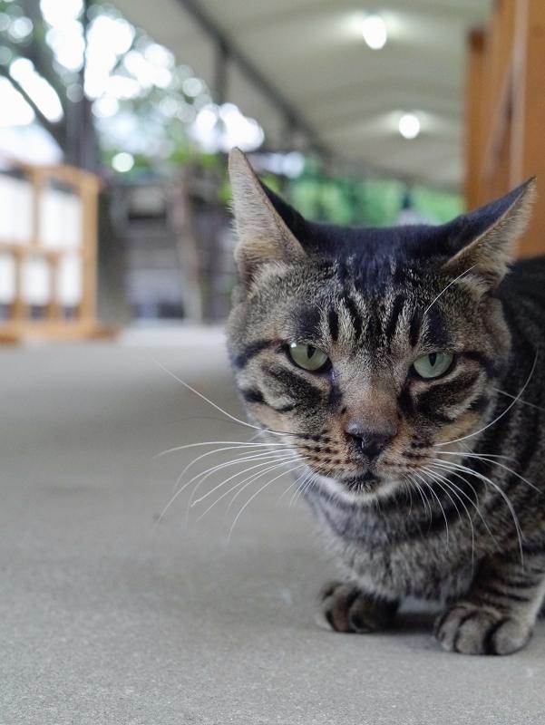 通路のキジトラ猫1