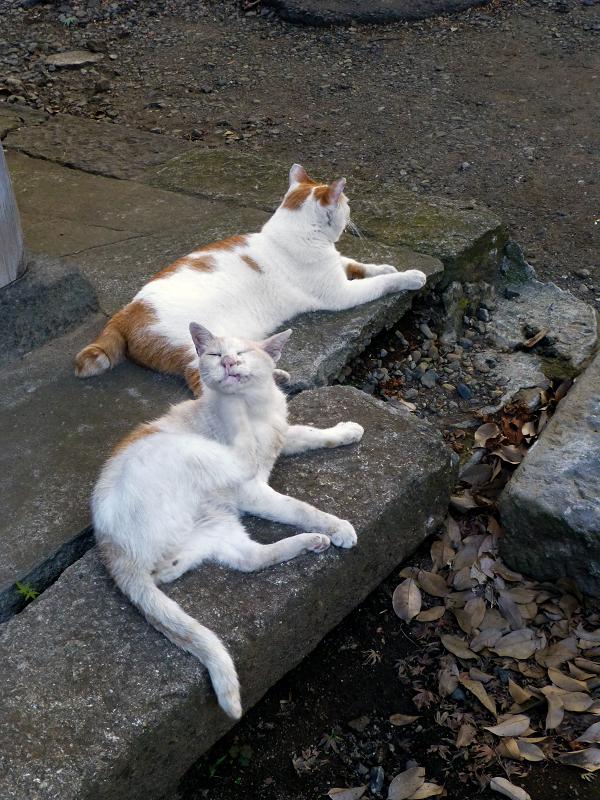 礎石縁石茶白猫2