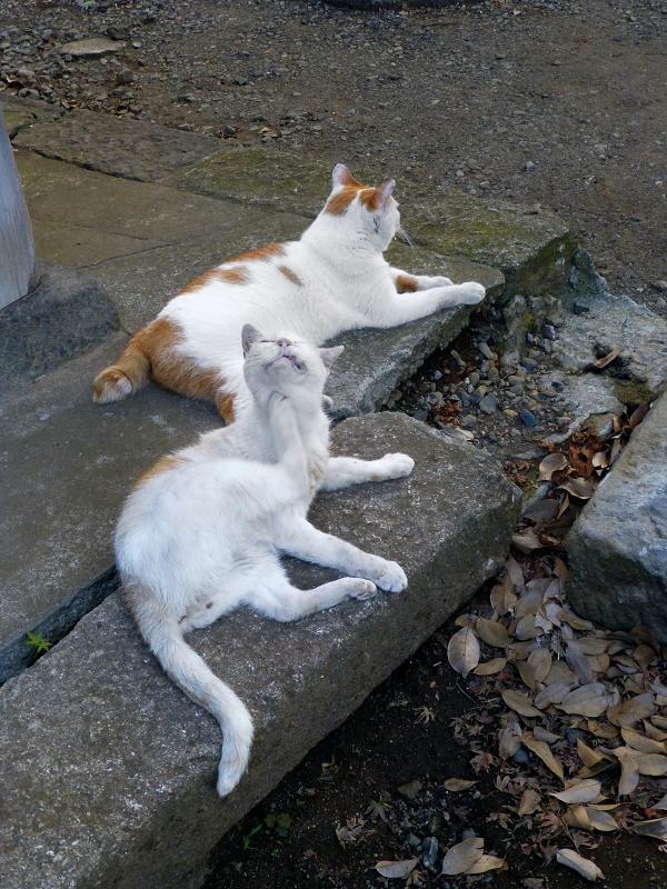 礎石縁石茶白猫3