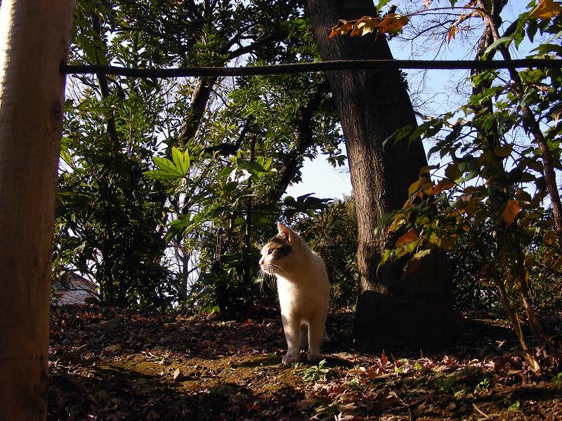 公園林の白キジ猫1