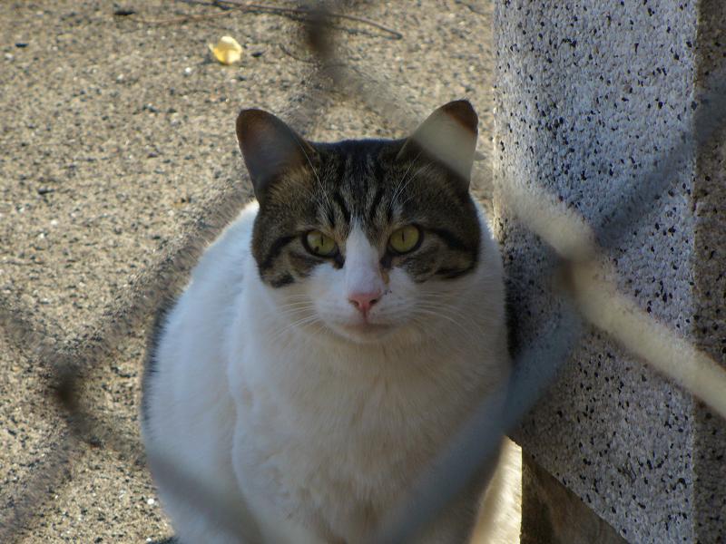 金網キジ白猫1