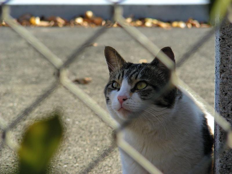 金網キジ白猫2