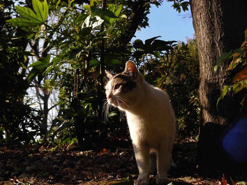 公園林の白キジ猫2