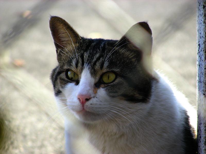 金網キジ白猫3