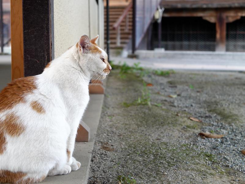 境内を眺める茶白猫1