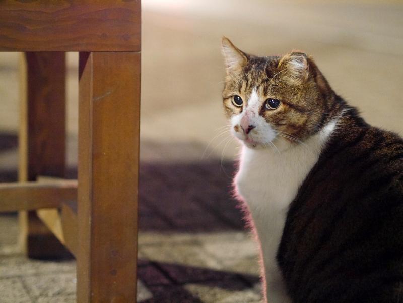 木製ベンチとキジ白猫