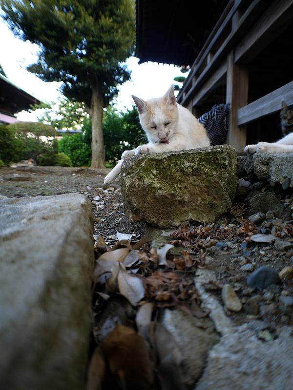 ローアングル白茶猫1