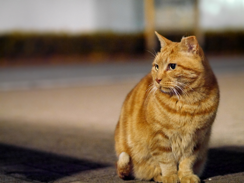 境内のアメシュー柄猫