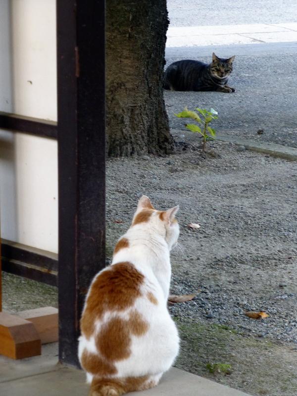 境内を眺める茶白猫3