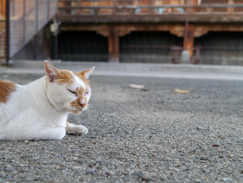 境内を眺める茶白猫4
