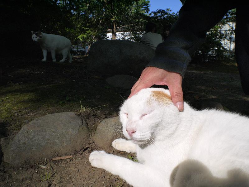 日向の白茶猫を触る3
