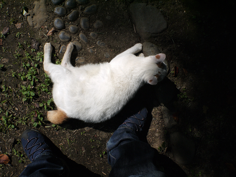 日向の白茶猫を触る4