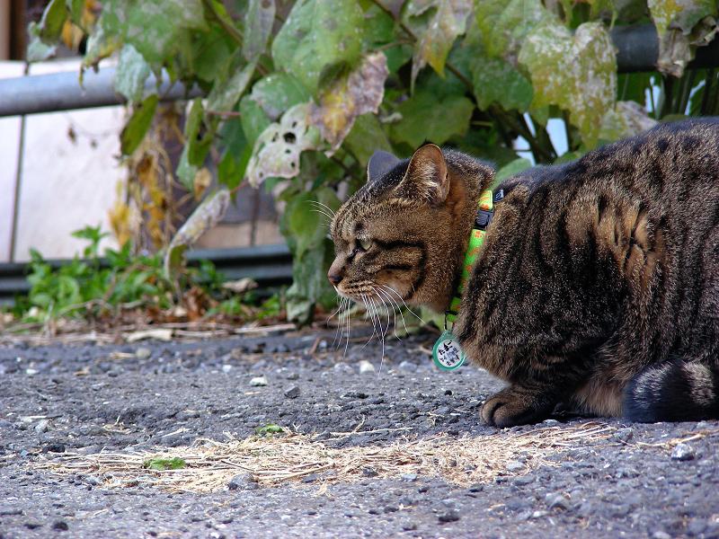 空き地のデカイキジトラ猫1