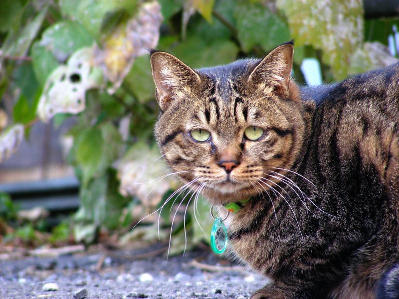 空き地のデカイキジトラ猫2