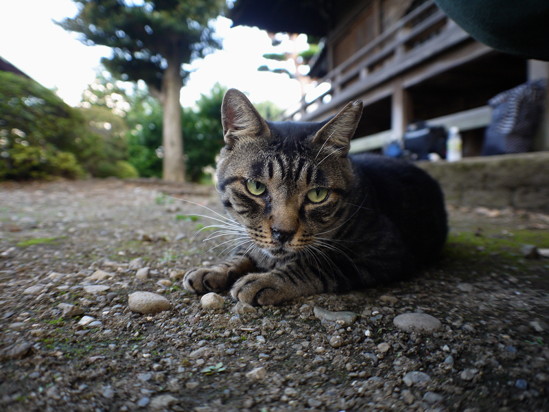 境内キジトラ猫1