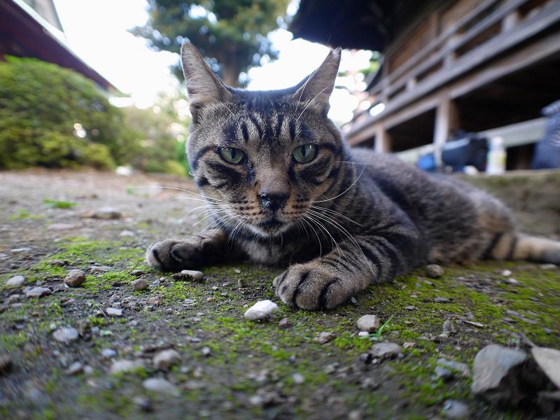 境内キジトラ猫2
