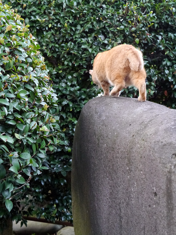 石碑と茶トラ猫5