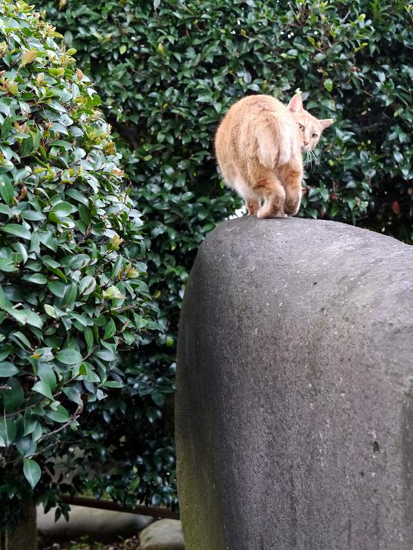 石碑と茶トラ猫6