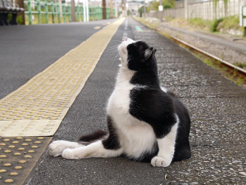 ホームでカキカキする黒白猫1