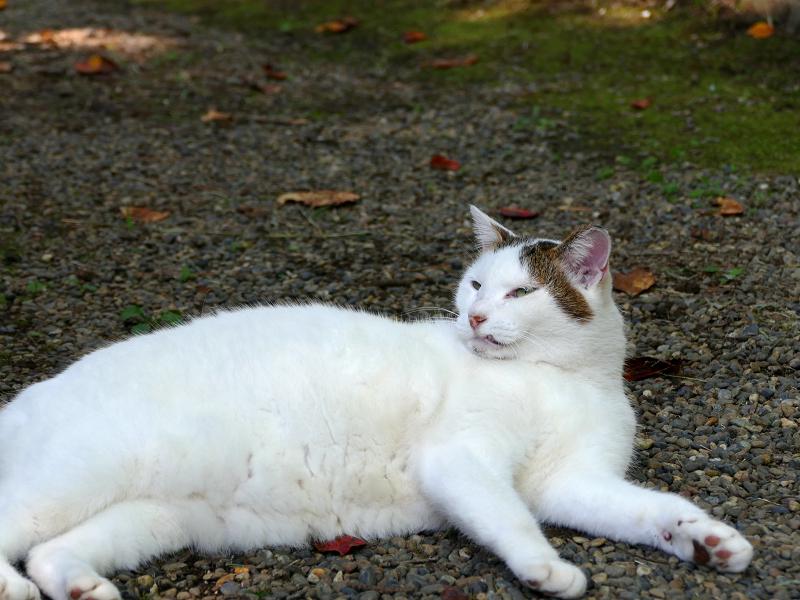 眉が印象的な白キジ猫1