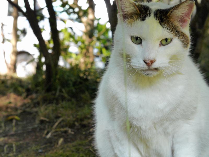 眉が印象的な白キジ猫2