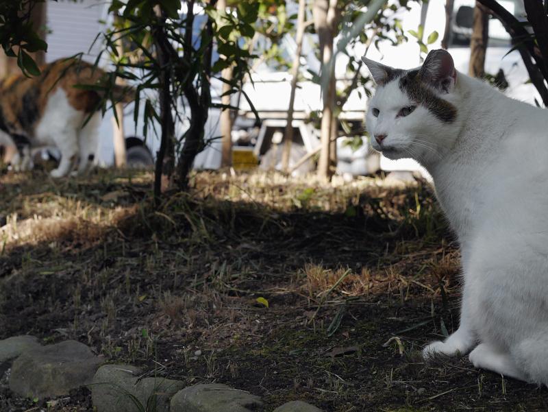 眉が印象的な白キジ猫3