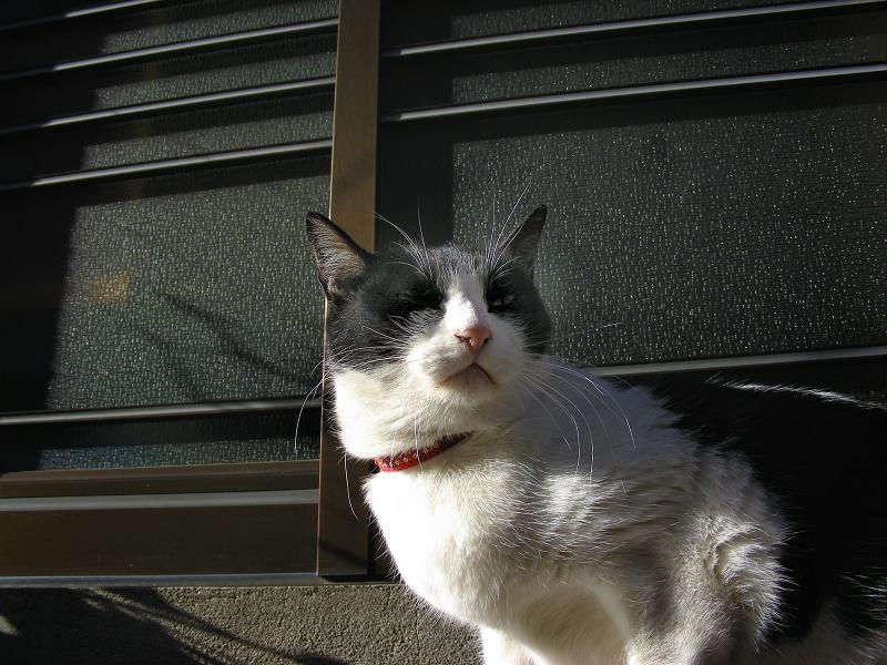 陽が当たる玄関前の白黒猫2