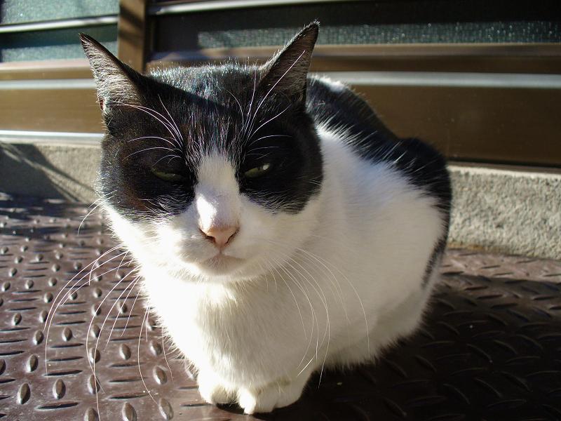 陽が当たる玄関前の白黒猫3