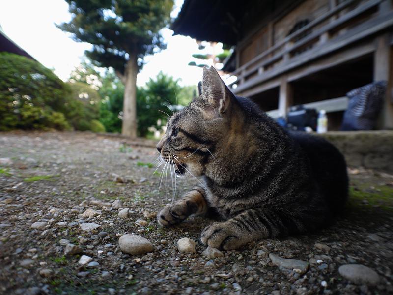 境内キジトラ猫真剣1