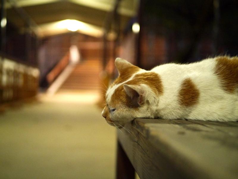 夕暮に通路ベンチで寝ている茶白猫1