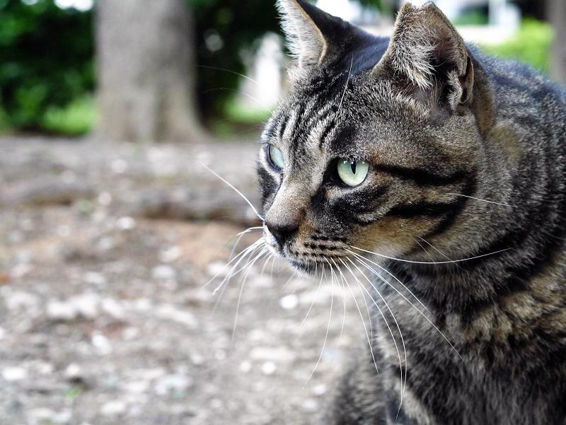 境内キジトラ猫真剣2